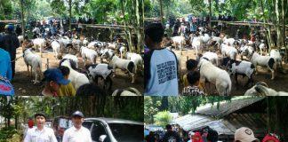 "Saat Acara Ngamumule "" Adu Tangkas Domba "" Berlangsung di Kp padarek desa drawati kecamatan paseh Kabupaten Bandung"