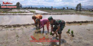 Babinsa Kodim 0205 Tanah Karo Sertu Sudyono membantu petani melaksanakan tanam padi di desa Batu karang, Rabu (12/09) 2018