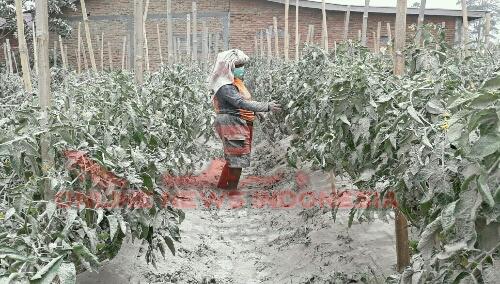 Foto : Tanaman Cabe para petani di kabupaten Karo rusak akibat Abu vulkanik Gunung Sinabung.
