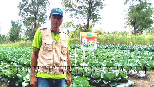 "Petani sukses Tompaso Bobby Muaya dengan latar belakang tanaman Kol veritas ""Rejo"""
